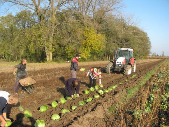 Varaždinsko zelje trudom proizvođača prepoznat će i EU