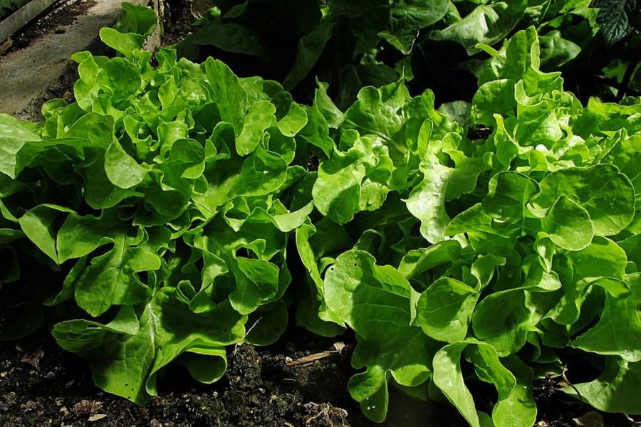 Uzgoj zelene salate u plasteniku i stakleniku