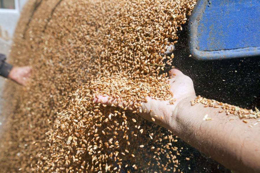 Silosi puni, zabrinjava otkupna cijena pšenice