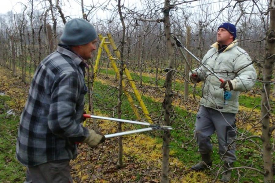 Kako se obavlja zimska rezidba voća?