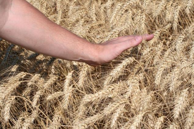 Proizvodnja žitarica u EU ponovo ispod proseka