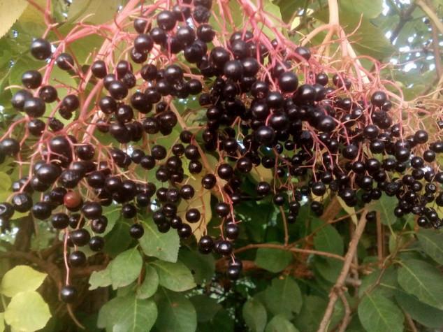 Sirup od bazginih bobica - saveznik protiv prehlade