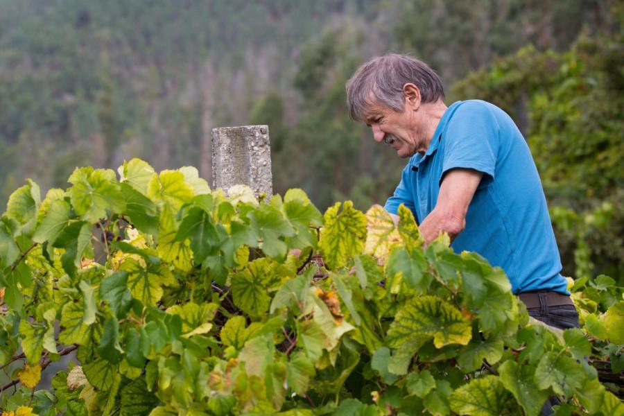 Edukacije vinogradara o patološkim žuticama