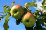 Eko jabuke i na osječkoj tržnici